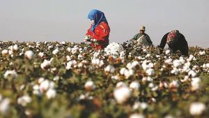 Bông sợi và lao động cưỡng bức: Cảnh báo cho hàng dệt may Việt Nam